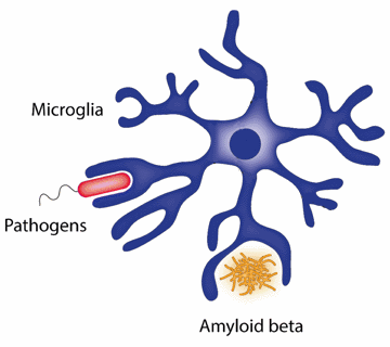 microglia are immune cells