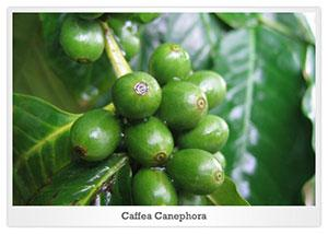 caffea canephora